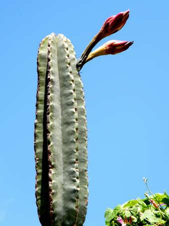 san pedro: San Pedro Cactus buds in Neve Monosson, Israel