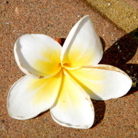 Frangipani flower on a brick pavement in Neve Monosson near Or Yehuda, Israel Stock Photo