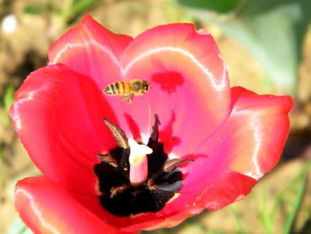 vertica: Bee on a Red Tulip flower in Or Yehuda, Israel