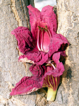 potato tree: Flower petals on Kigelia pinnata trunk in Or Yehuda, Israel Stock Photo