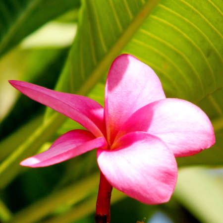 Pink Frangipani Flower isolated on a green background in Or Yehuda, Israel Stock Photo