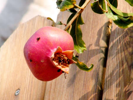 lance shaped: Pomegranate isolated on tree in Or Yehuda, Israel