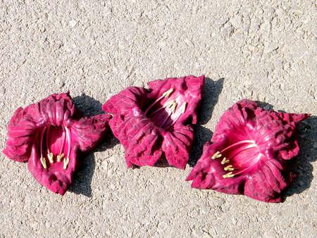 potato tree: Sausage Tree flower petals on the sidewalk in Or Yehuda, Israel