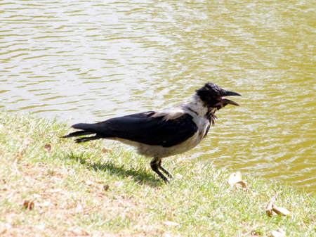 bird of israel: A crow in a very hot day in Ramat Gan Park, Israel