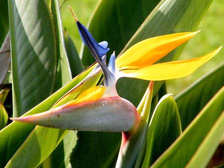 bird of israel: Bird of Paradise flower in Ramat Gan Park, Israel