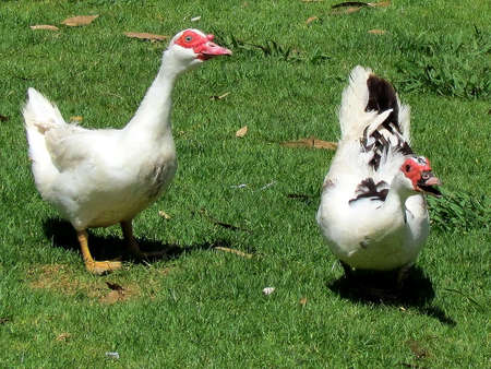 caruncle: Angry Muscovy Ducks in Ramat Gan Park, Israel