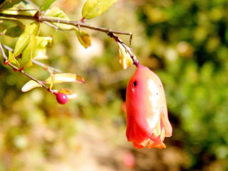 edith: Pomegranate flower isolated in Edith Wolfson Park in Ramat Gan, Israel