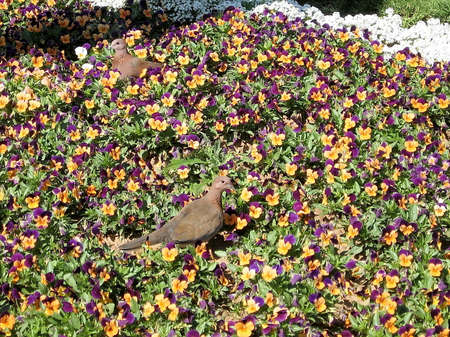 bird of israel: Two Turtledoves among the flowers in Ramat Gan Park, Israel