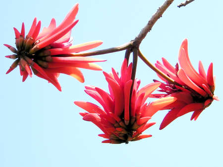 Red Coral Tree flowers in Wolfson park in Ramat Gan, Israel
