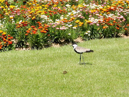 Lapwing near carpet of flowers in Ramat Gan Park, Israel Banco de Imagens