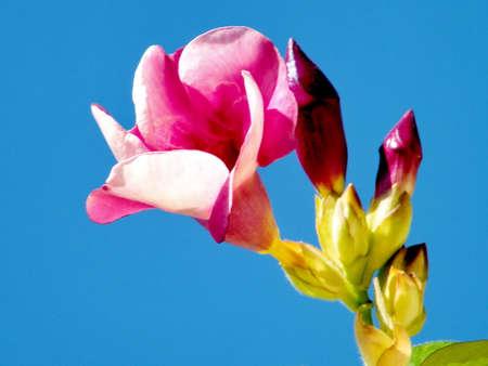 dipladenia: Red Mandevilla sanderi fiore in Savyon, Israele