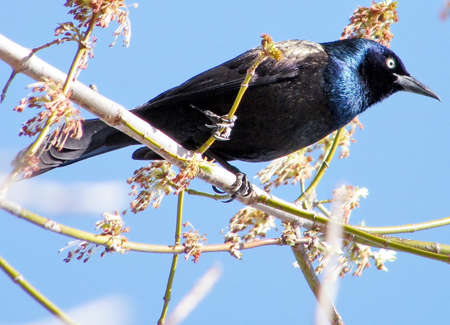 thornhill: Common Grackle isolated in Thornhill Ontario, Canada