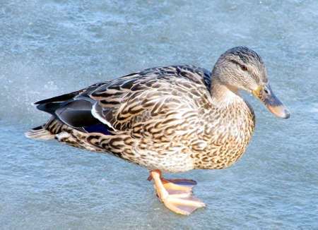 thornhill: Duck on ice of Oakbank Pond in Thornhill,Canada