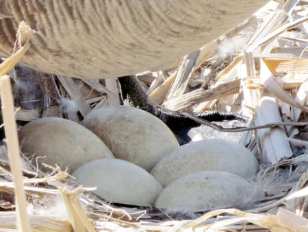oakbank: Canadian goose sitting on nest with eggs showing on bank of Oakbank Pond in Thornhill, Canada Stock Photo