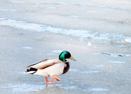 thornhill: Duck Walking on ice of Oakbank Pond in Thornhill,Canada