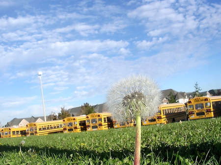 thornhill: Dandelion in the background of school buses in Thornhill, Canada Stock Photo