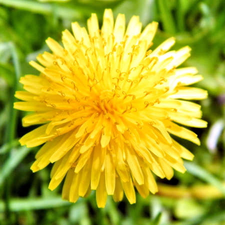 thornhill: Common Dandelion in Thornhill, Canada