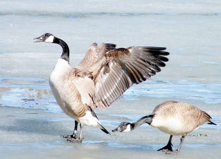 oakbank: Canadian geese on ice of Oakbank Pond in Thornhill, Canada Stock Photo