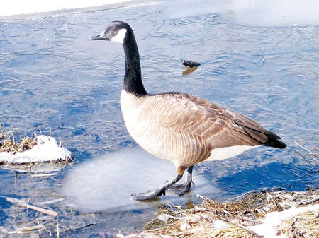 oakbank: Canadian Goose walking on thin ice of Oakbank Pond in Thornhill, Canada Stock Photo