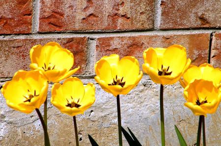 thornhill: Yellow tulips on a background of brick wall in Thornhill Ontario, Canada
