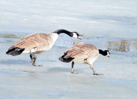 thornhill: Screaming at geese on ice of Oakbank Pond in Thornhill,Canada Stock Photo