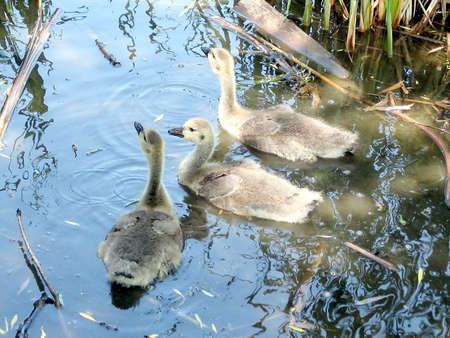 thornhill: Three Goslings on Oakbank Pond in Thornhill Ontario, Canada