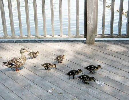 oakbank: Mother Duck and ducklings on bank of Oakbank Pond in Thornhill Ontario, Canada