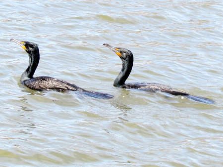 thornhill: Two Double Crested Cormorants on Oakbank Pond in Thornhill, Canada