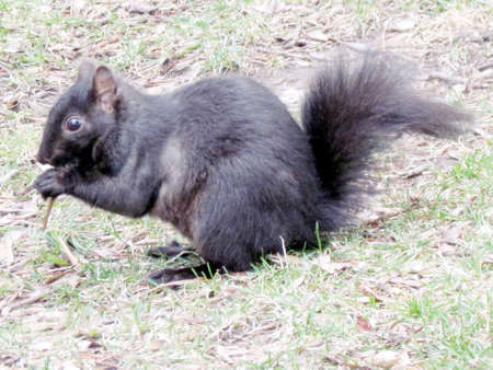 thornhill: Black squirrel on the spring grass in Thornhill Ontario, Canada