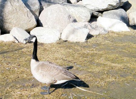 oakbank: Geese on bank of Oakbank Pond in Thornhill, Canada Stock Photo
