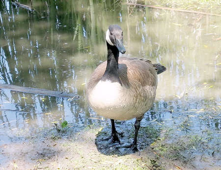 oakbank: Canadian geese on bank of Oakbank Pond in Thornhill,Canada Stock Photo