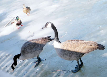 thornhill: Geese and ducks on ice of Oakbank Pond in Thornhill,Canada