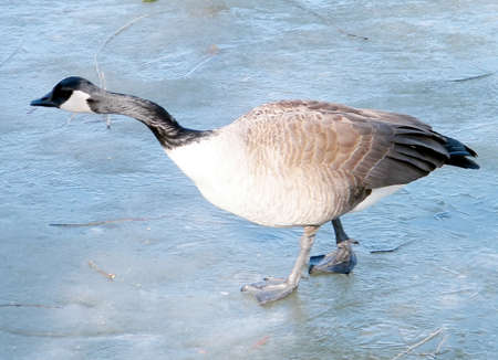 thornhill: Geese on ice of Oakbank Pond in Thornhill,Canada