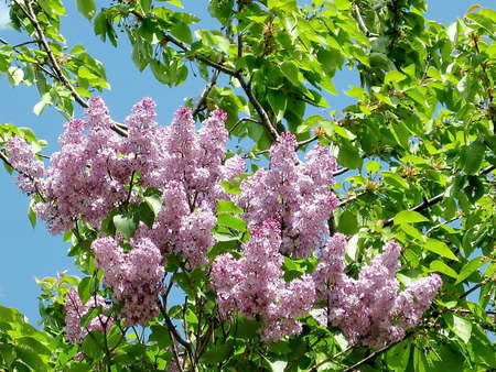thornhill: Blossoming Purple lilac in spring in Thornhill Ontario, Canada Stock Photo