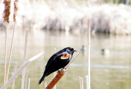 oakbank: Red-winged Blackbird at the reeds of Oakbank Pond in Thornhill, Canada