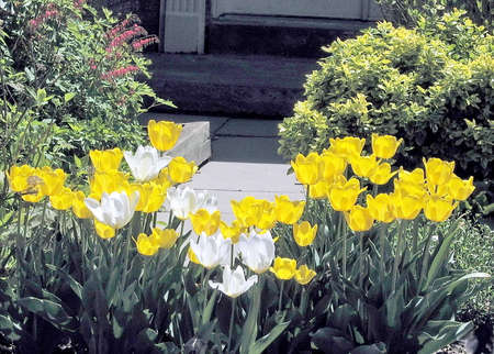 thornhill: White and Yellow tulips in spring in Thornhill Ontario, Canada Stock Photo