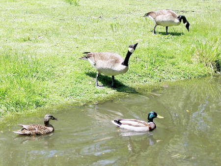 oakbank: Geese and duck on bank of Oakbank Pond in Thornhill Ontario, Canada Stock Photo