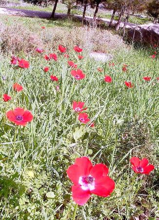 Field of beautiful red Crown Anemone in Shoham,Israel