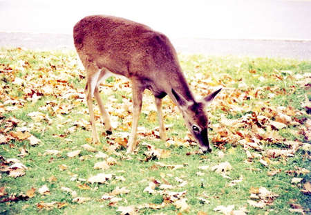 The deer in Shenandoah National Park in 1997, USA