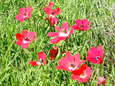 Carpet of Wild Red Crown Anemone in winter in Shoham, Israel