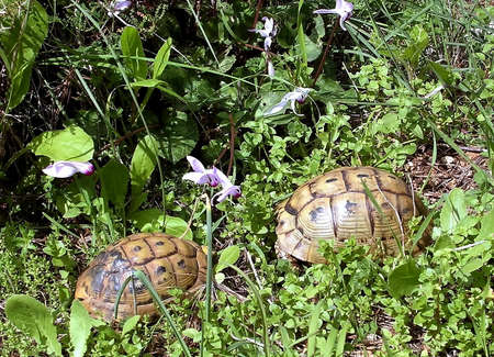 saurian: Cyclamens and Turtles in Shoham,Israel