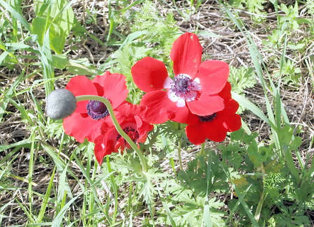 Wild Red Crown Anemone in Shoham,Israel Stock Photo