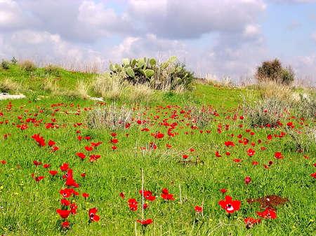 Field of Red poppy in winter in Shoham, Israel Banco de Imagens