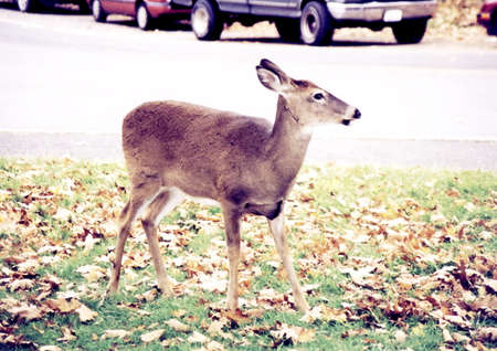 buck teeth: The deer near highway in Shenandoah National Park in 1997, USA