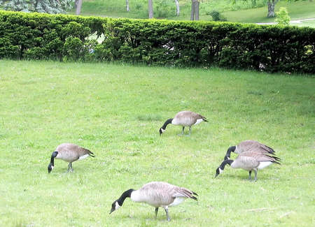 high park: Flock of geese in High Park,Toronto Stock Photo