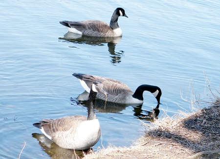 high park: Three Geese on Grenadier Pond in High Park,Toronto
