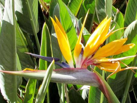 bird of israel: Bird of Paradise flower in Or Yehuda, Israel Stock Photo