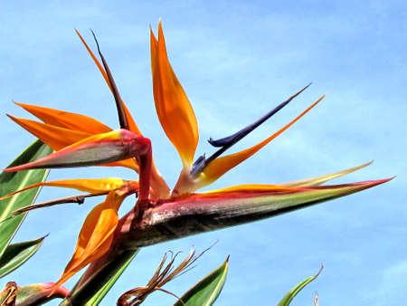 bird of israel: The Bird of Paradise flower in Or Yehuda, Israel
