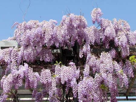 wistaria: The Wistaria flower in Or Yehuda, Israel
