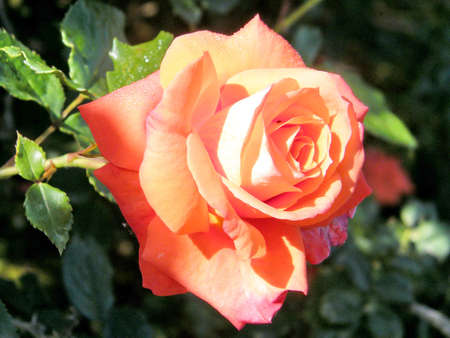 The orange rose isolated in Or Yehuda, Israel